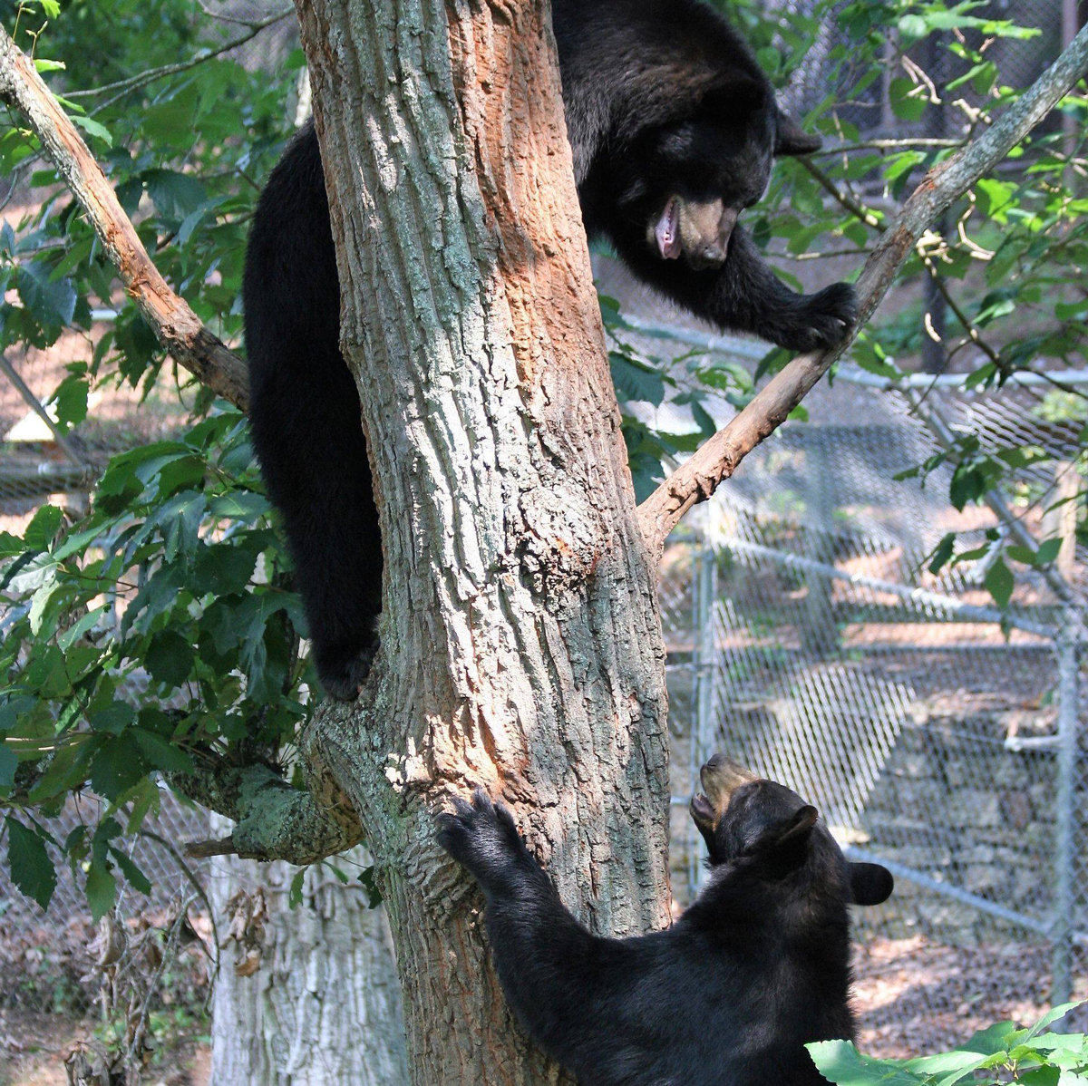 Asheville North Carolina Travel Guide - American Black Bears
