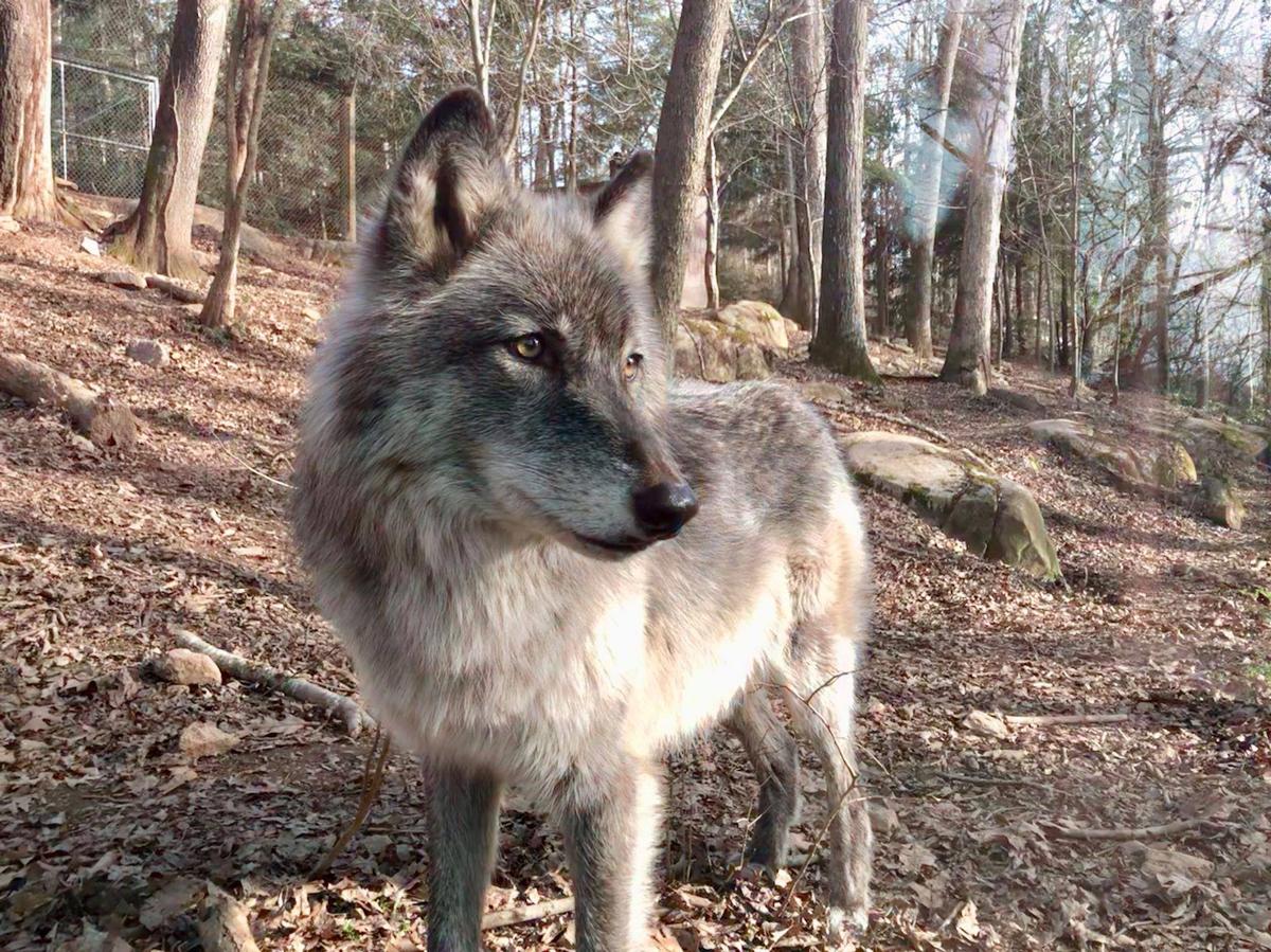 Asheville North Carolina Travel Guide - Gray Wolves Nature Center