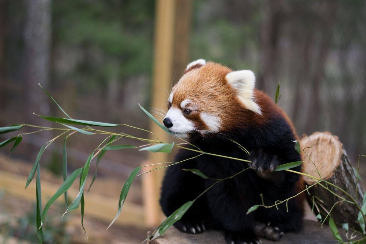 Asheville North Carolina Travel Guide - Nature Center Red Panda